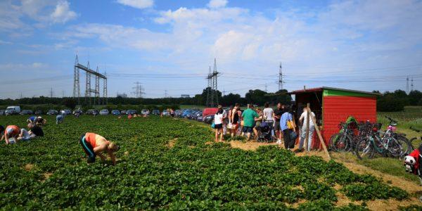 Erdbeeren pflücken auf dem Erdbeerfeld in Praunheim