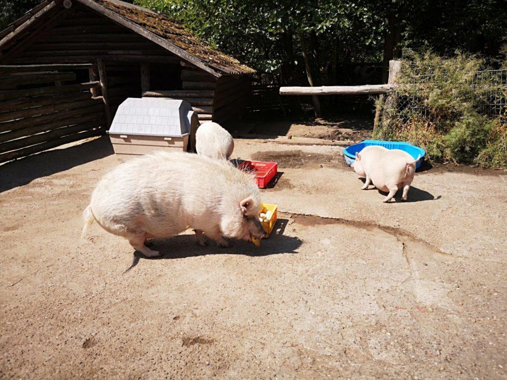 Die Paprika wurde von den Schweinen als erstes aufgemampft im Waldzoo Offenbach