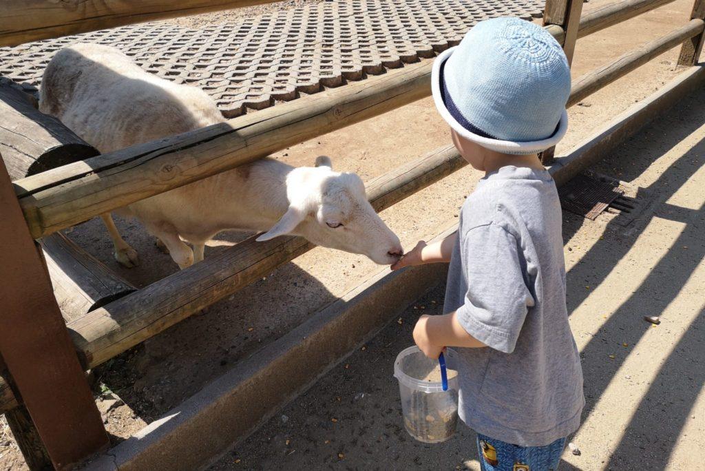 Die Schafe kann man wunderbar füttern im Waldzoo Offenbach