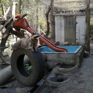 Verspielte Waschbären im Waldzoo Offenbach