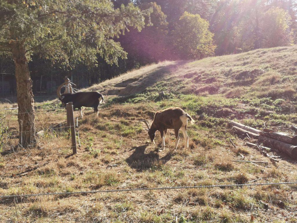 Die Thüringer Waldziege - Frankfurt mit Kids