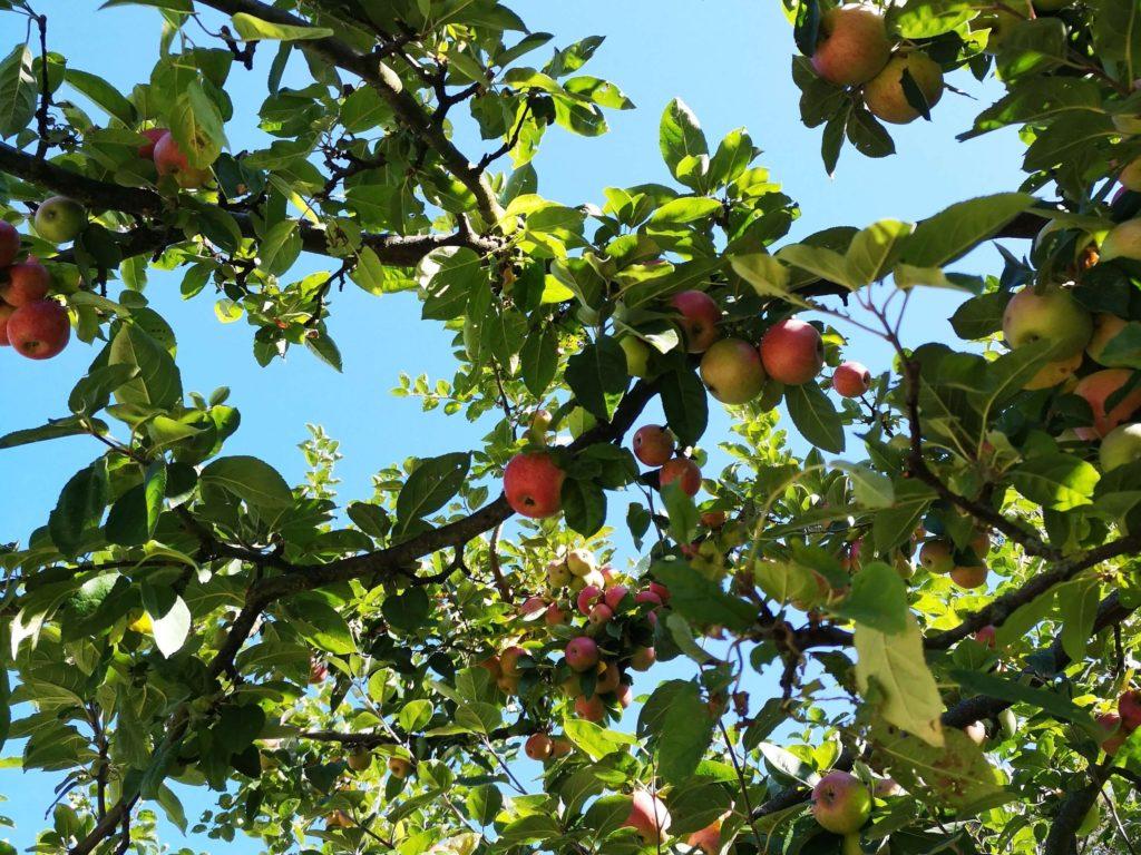Zum Anbeißen sind die Äpfel des Goethe Gartens im Palmengarten Frankfurt - Frankfurt mit Kids
