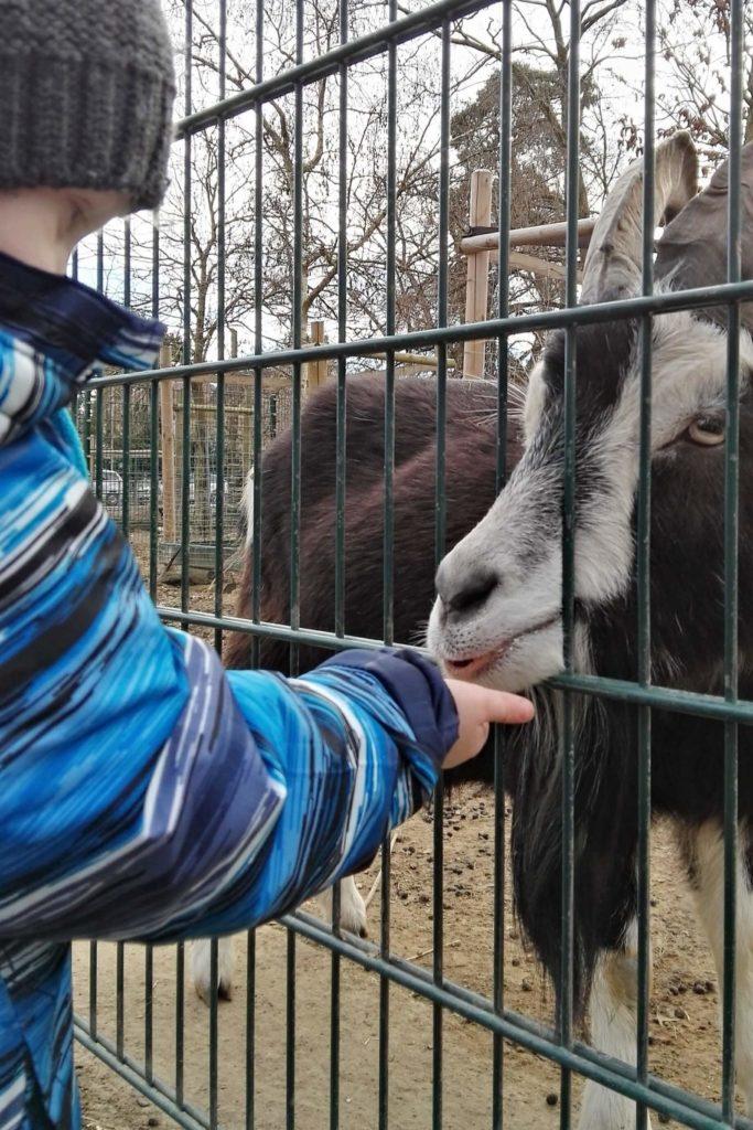 Ziegen füttern im Wildpark Mainz-Gonsenheim ist klasse