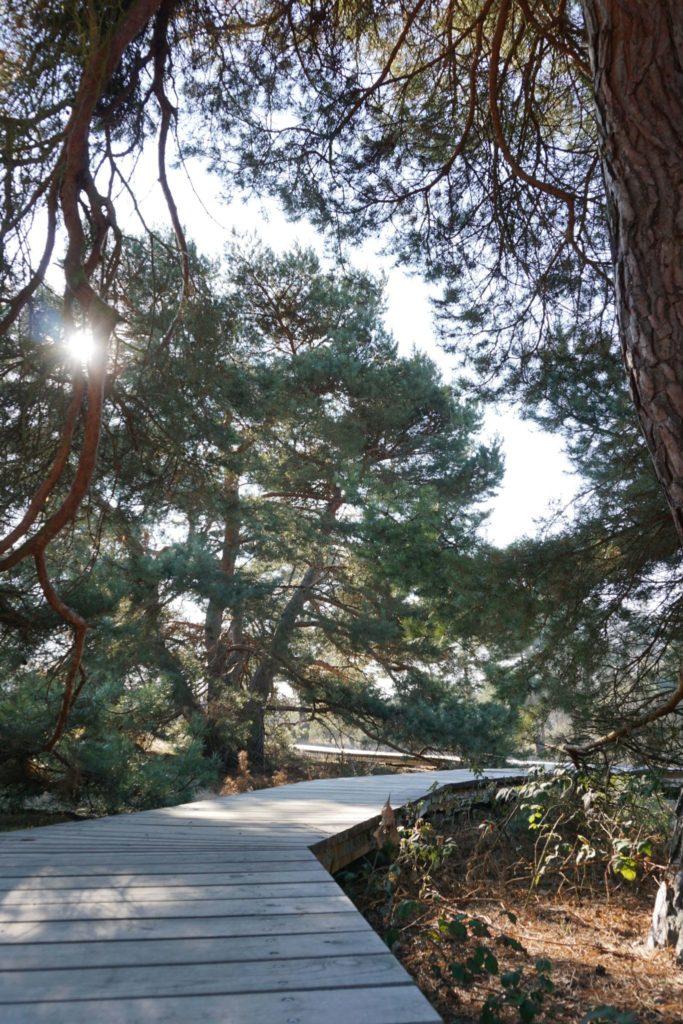 Holzbohlen führen über die Schwanheimer Düne