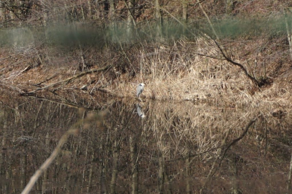 Graureiher in der Schmitt'schen Grube