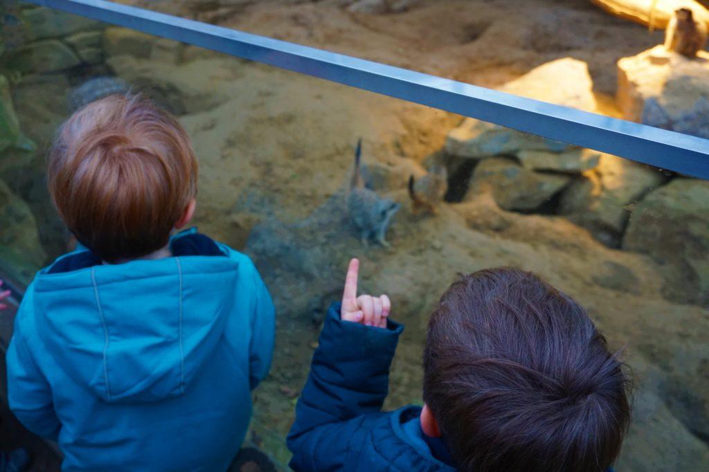 Erdmännchen Frankfurter Zoo