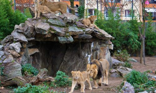Löwen im Frankfurter Zoo