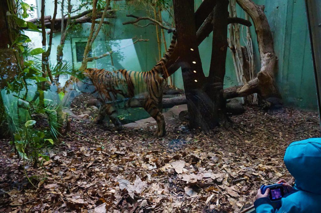 Der Sumatra-Tiger wurde auch von meinem Großen fotografiert