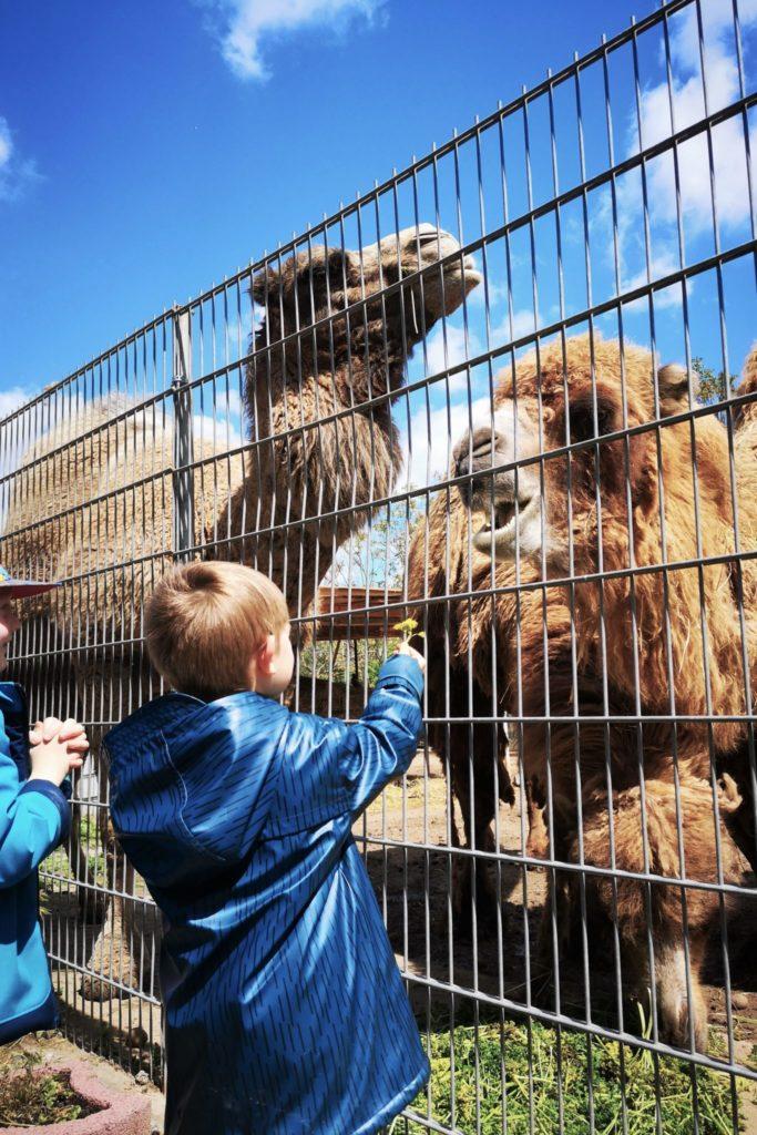 Kamele mampfen Petersilie auf dem Gnadenhof für Tiere