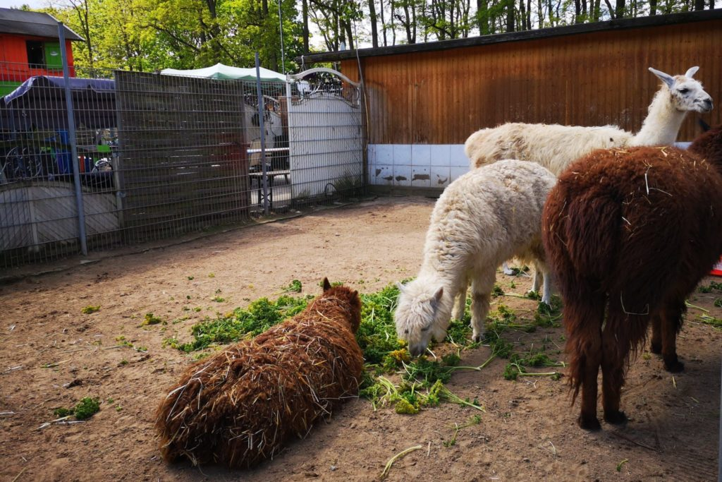 Sogar Lamas gibt es auf dem Gnadenhof in Weiterstadt
