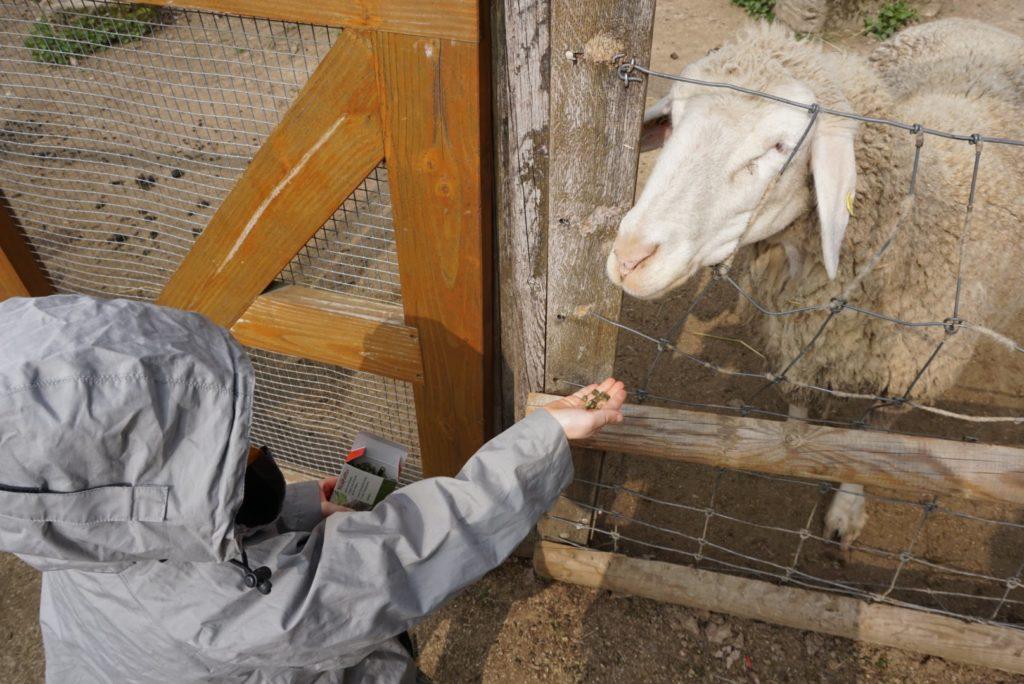 Schafe füttern Fasanerie Wiesbaden