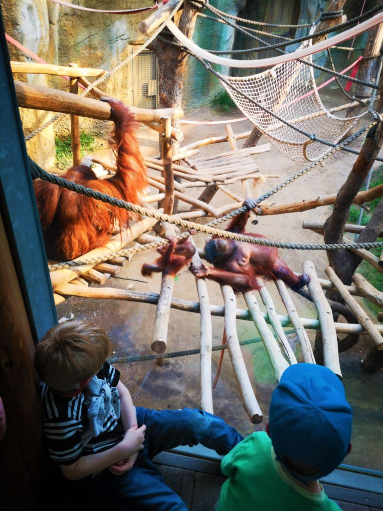 Kinder beobachten Orang-Utan-Familie