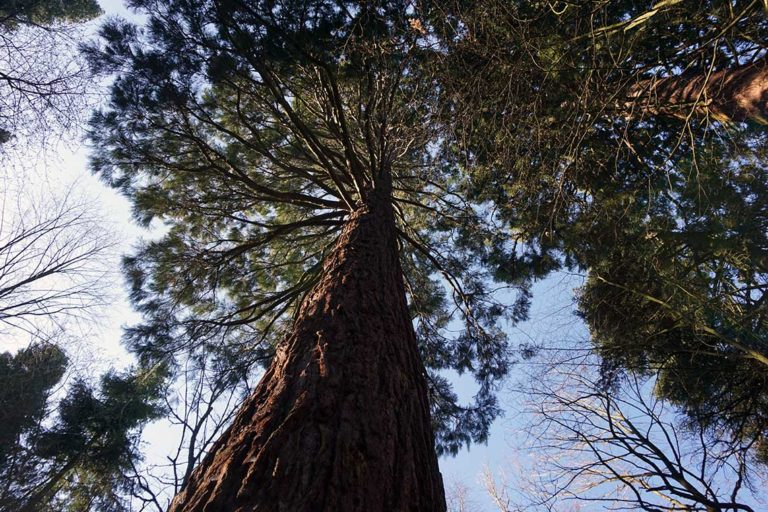 Blick nach oben Mammutbaum