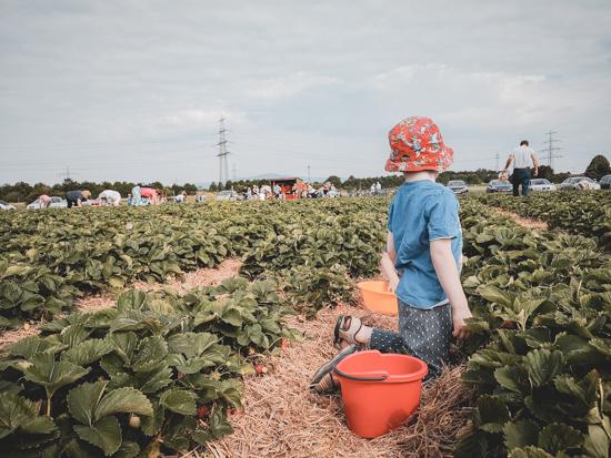 Kind pflückt Erdbeeren mit Eimer