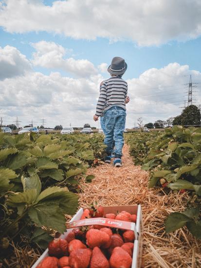Kind pflückt Erdbeeren