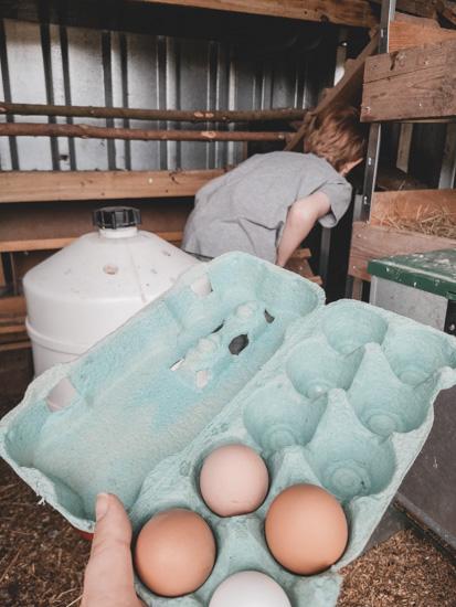 Eiersuche im Hühnerstall